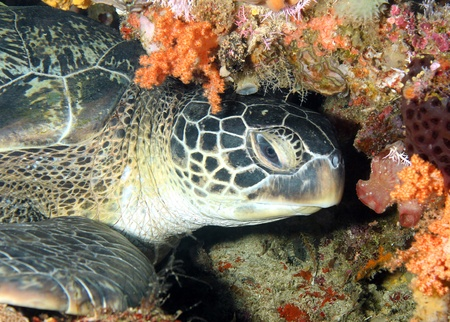 chelonia: Green Turtle (Chelonia Mydas) Resting at the Coral Wall, Bunaken, Indonesia