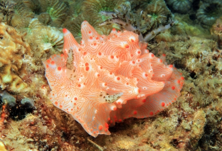 Malesso Halgerda (Halgerda Batangas), Lembeh Strait, Indonesia photo