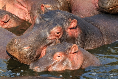 Mother and Calf of Hippopotamus  Hippopotamus Amphibius  in the Water, Serengeti, Tanzania
