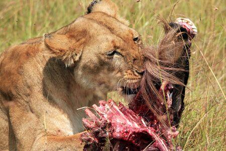 maasai mara: Close-up di un leone (Panthera Leo) Mangiare un Gnu, Masai Mara, Kenya