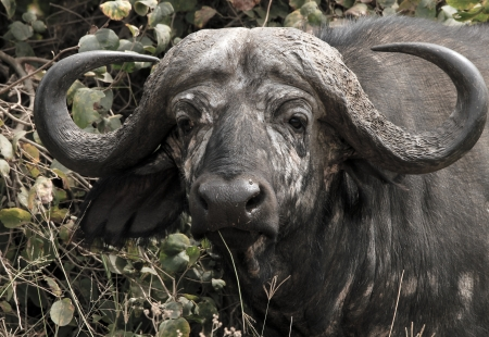 ungulates: Headshot of an African Buffalo  Syncerus Caffer , Serengeti, Tanzania