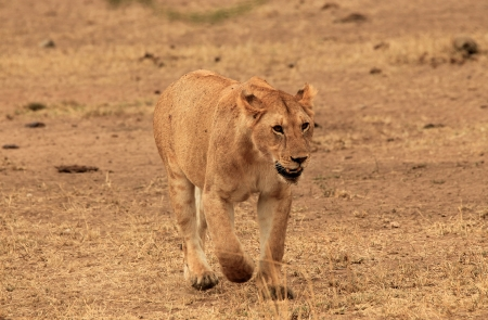 Lion  Panthera Leo  Approaching in the Grass, Serengeti, Tanzania photo