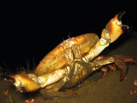 horrifying: Brown Crab  Cancer Pagurus  With the Guard Up,  Sweden