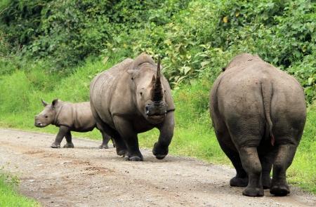 tourney: White Rhinos  Ceratotherium simum  Jousting, Lake Nakuru, Kenya