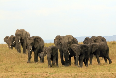 African Elephant Family  Loxodonta Africana  Approaching on Savannah, Serengeti, Tanzania