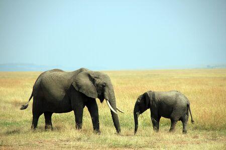 maasai mara: African Elephant Loxodonta Africana Madre e vitello su Savannah, Masai Mara, Kenya