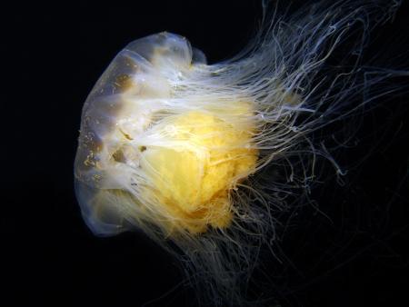 Lion s Mane Jellyfish Cyanea Capillata Schweden Standard-Bild - 15241000