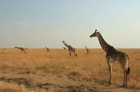 east africa: Maasai Giraffes  Giraffa Tippelskirchi  on the Savannah, Maasai Mara, Kenya Stock Photo