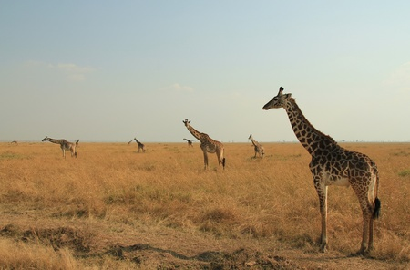 maasai mara: Masai Giraffe Giraffa Tippelskirchi sul Savannah, Masai Mara, Kenya