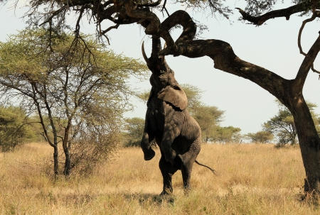 africana: African Elephant  Loxodonta Africana  Reaching out for Food in a Tree, Serengeti, Tanzania Stock Photo