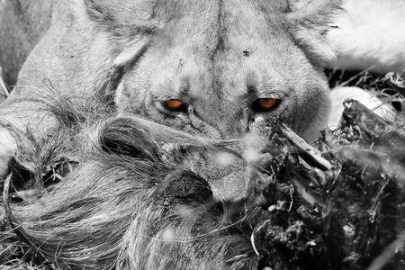 maasai mara: Close-up di un leone Panthera Leo Mangiare uno gnu, Masai Mara, Kenya Archivio Fotografico