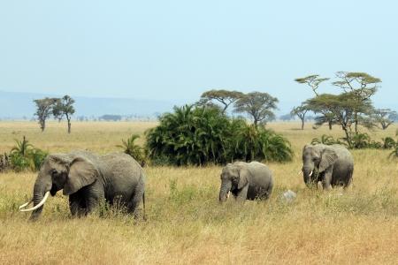Elephant Family  Loxodonta Africana  Walking, Serengeti, Tanzania