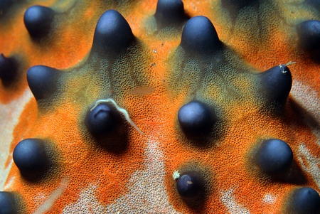 Close-up of a Knobbly Sea Star Horned Sea Star  Protoreaster Nodosus , Bunaken, Indonesia photo
