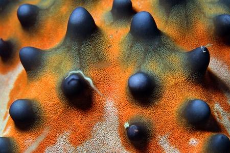 invertebrates: Close-up of a Knobbly Sea Star Horned Sea Star  Protoreaster Nodosus , Bunaken, Indonesia Stock Photo
