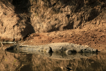 east africa: Nile Crocodile  Crocodylus Niloticus  in the Water, with Full Reflection, Serengeti, Tanzania