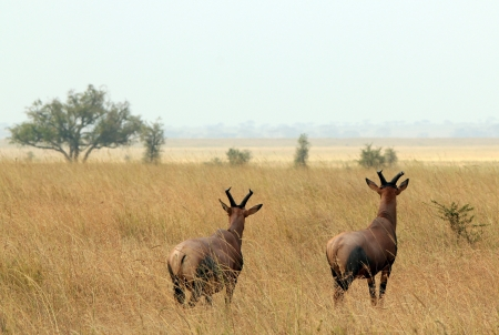 Topi Couple  Damaliscus Lunatus  Looking out over the Savannah, Serengeti, Tanzania photo