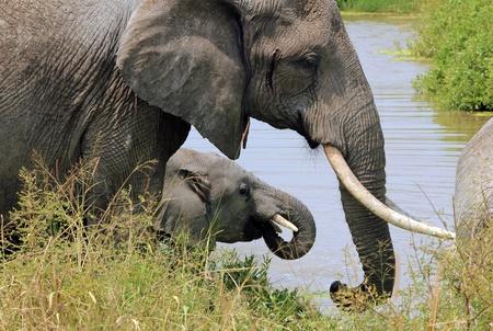 pozo de agua: Elefantes Loxodonta Africana potable en el abrevadero, de Tarangire National Park, Tanzania