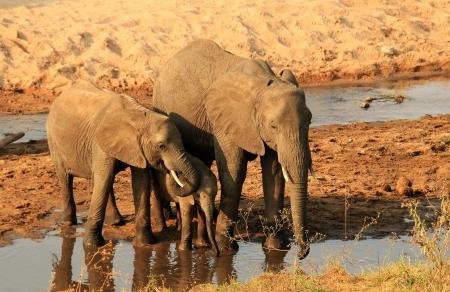 pozo de agua: Familia del elefante Loxodonta Africana potable en el abrevadero, de Tarangire National Park, Tanzania