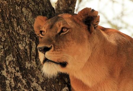 safari game drive: Ritratto di un Lioness Panthera Leo in un albero, Serengeti, Tanzania Archivio Fotografico