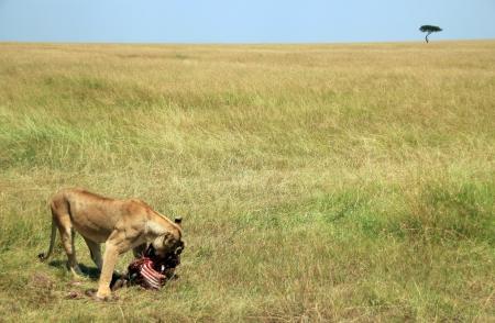 maasai mara: Leonessa Panthera Leo Mangiare un gnu nella savana, Masai Mara, Kenya