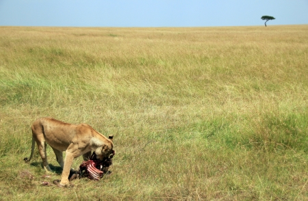 maasai mara: Lioness  Panthera Leo  Eating a Wildebeest on the Savannah, Maasai Mara, Kenya