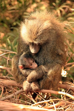 caretaking: Olive Baboon  Papio Anubis  with Baby in Her Arms, Lake Manyara, Tanzania