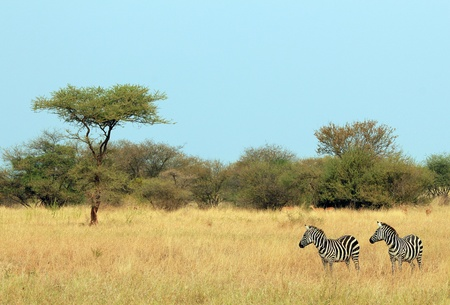 ungulates: Plains Zebra  Equus Quagga  Couple, Serengeti, Tanzania