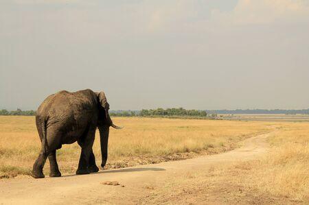 maasai mara: African Elephant Loxodonta Africana Camminare, Masai Mara, Kenya Archivio Fotografico