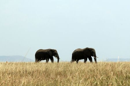 African Elephant Couple  Loxodonta Africana  Walking Across the Savannah, Serengeti, Tanzania photo