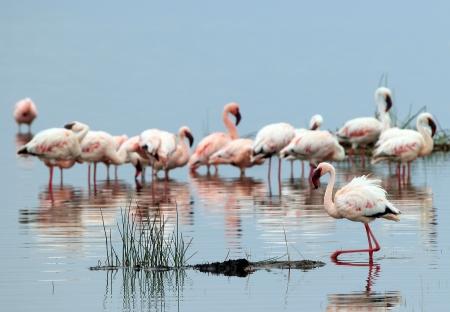 nakuru: Lesser Flamingos  Phoeniconaias Minor , in Water, Lake Nakuru, Kenya