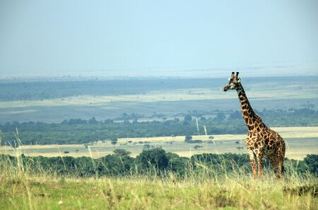 maasai mara: Maasai Giraffe  Giraffa Tippelskirchi  on a Hill with Maasai Mara in the Background, on the Border to Maasai Mara, Kenya