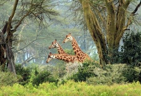 safari game drive: Tre Masai Giraffe Giraffa Tippelskirchi in the Bush, Lago Nakuru, Kenya