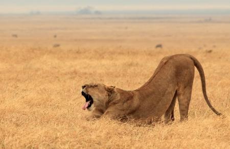 Lioness Panthera Leo Gähnen und Strecken Out, Ngorongoro Crater, Tanzania Standard-Bild - 16525368