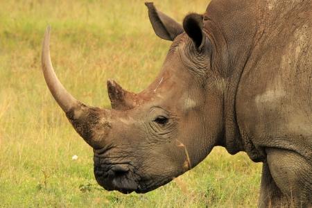nakuru: Close-up of a White Rhino  Ceratotherium Simum , Lake Nakuru, Kenya