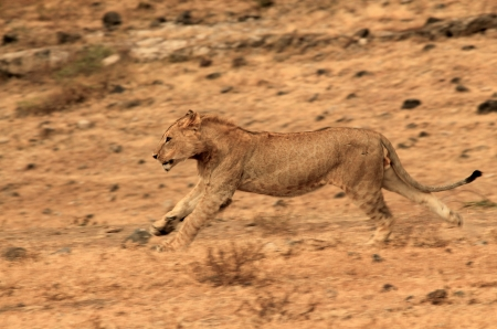 panthera leo: Juvenil Le�n Panthera Leo Running, Ngorongoro Crater, Tanzania Foto de archivo