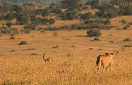 Lioness Panthera Leo Hunting a Thomson Gazelle in the Morning Light, Maasai Mara, Kenia Standard-Bild - 16787957