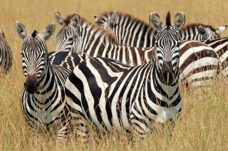 Plains Zebras  Equus Quagga  in High Grass, Maasai Mara, Kenya Stock Photo