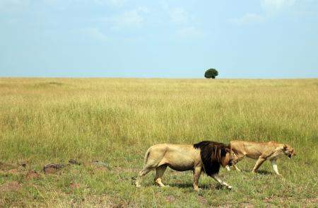 maasai mara: Lion Walking Coppia Panthera Leo in tutto il Savannah, Masai Mara, Kenya Archivio Fotografico