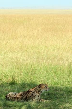 maasai mara: Cheetah  Acinonyx Jubatus  Lying in the Grass, Maasai Mara, Kenya