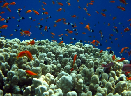 anthias fish: Jewel Fairy Basslets  Pseudanthias Squamipinnis    Bicolor Pullers  Chromis Dimidiata   At a Dome Coral, Strait of Tiran, Egypt