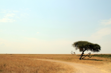 View of Serengeti Plains, with Dirt Road and Acacia in the Foreground photo