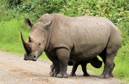 nakuru: White Rhino  Ceratotherium simum  With Calf, Lake Nakuru, Kenya Stock Photo