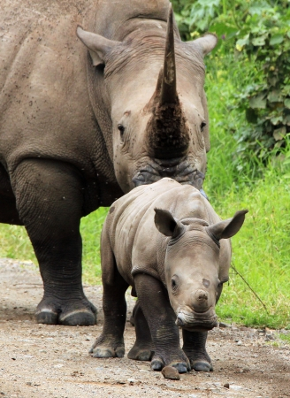 White Rhino Calf  Ceratotherium simum  With Mother, Lake Nakuru, Kenya Stock Photo