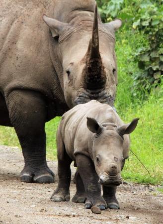 nakuru: White Rhino Calf  Ceratotherium simum  With Mother, Lake Nakuru, Kenya Stock Photo