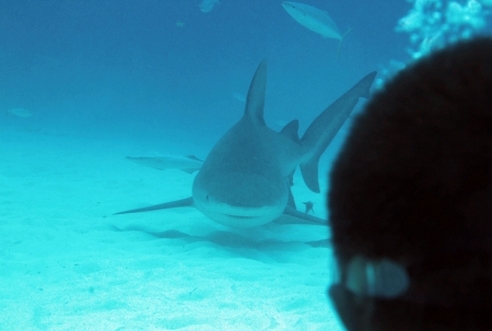 bull shark: Bull Shark  Carcharhinus Leucas  Approaching Diver, Playa del Carmen, Mexico