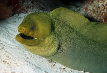moray: Green Moray  Gymnothorax Funebris  Close-up, Cozumel, Mexico Stock Photo
