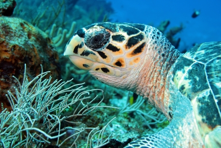 Echte Karettschildkröte Eretmochelys Imbricata Close-up, Cozumel, Mexiko Standard-Bild - 18204287