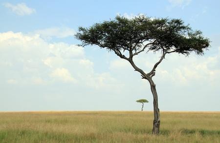 maasai mara: Alberi di acacia in Savana, Masai Mara, Kenya