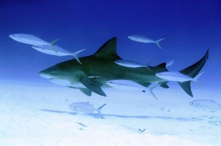 bull shark: Bull Shark  Carcharhinus Leucas , Playa del Carmen, Mexico