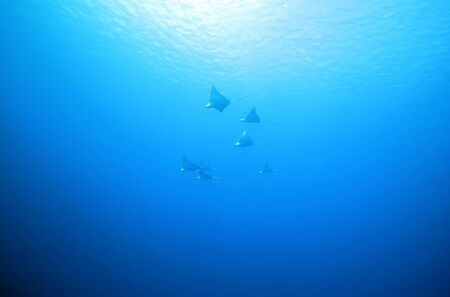 narinari: Seven Spotted Eagle Rays  Aetobatus Narinari  in the Distance against the Surface, Cozumel, Mexico